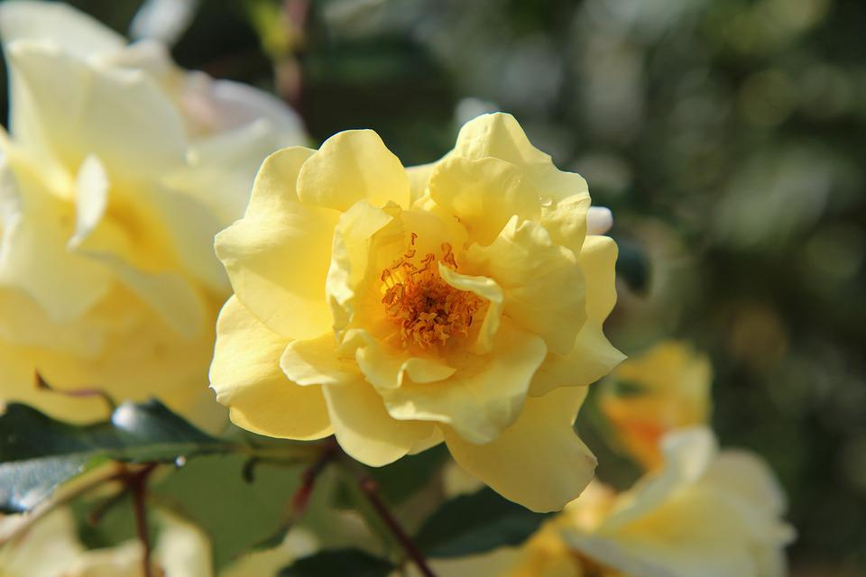 Yellow Rose, Pink Blossomed, Rosebush, Flowering