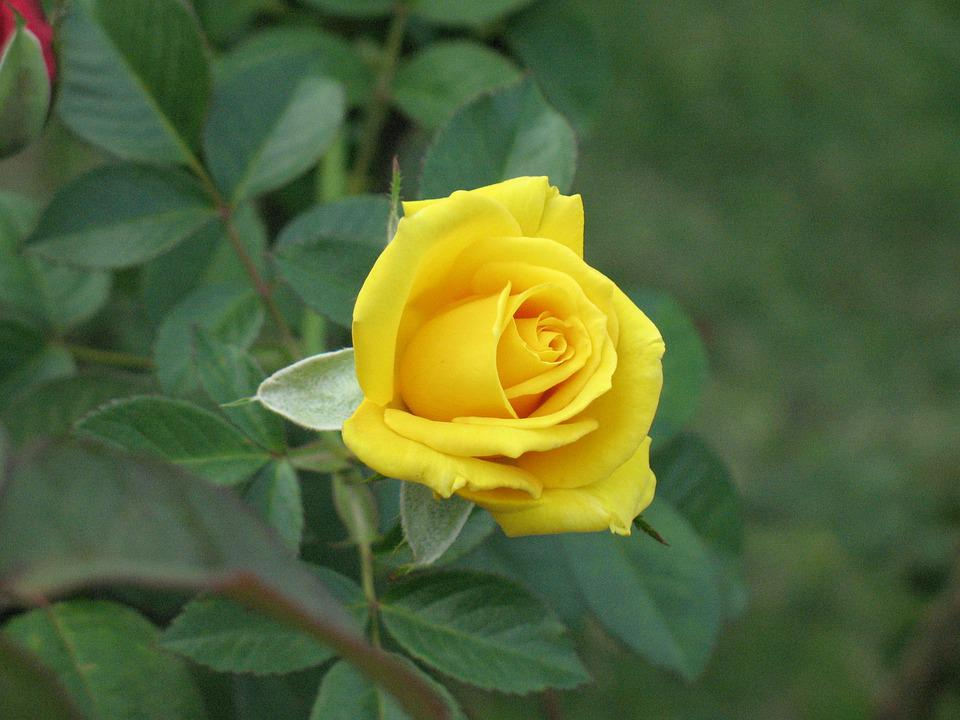 Flower, Nature, Leaf, Flora, Garden, Rose, Yellow Rose