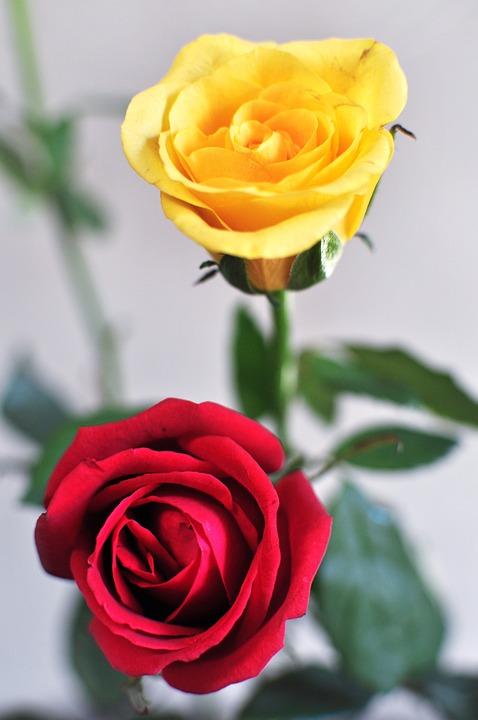 Rose, Flower, Romance, Love, Petal, Yellow, Red