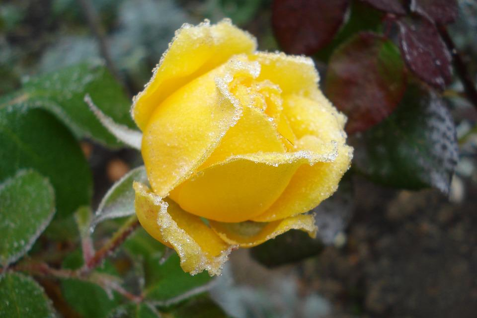Nature, Flower, Plant, Rose, Yellow, Frost, Frozen
