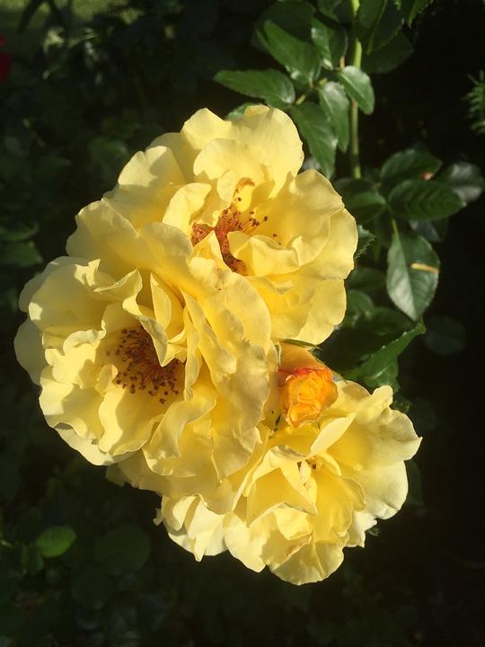 Roses, Garden, Yellow