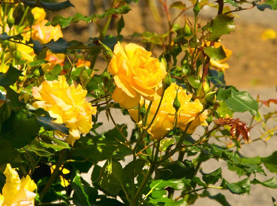 Roses, Yellow, Yellow Rose, Bright Yellow, Garden Rose