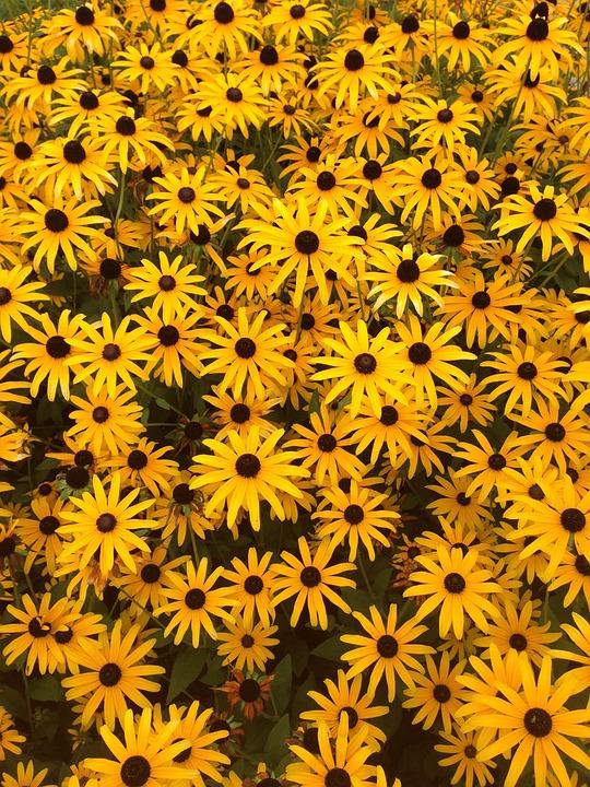 Rudbeckia, Summer Flower, Yellow, Flower, Flowers