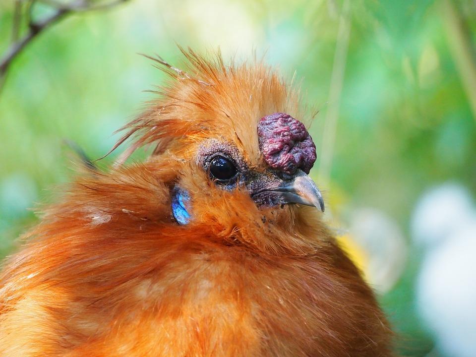 Hahn, Yellow, Seidenhuhn, Feather, Bird, Plumage