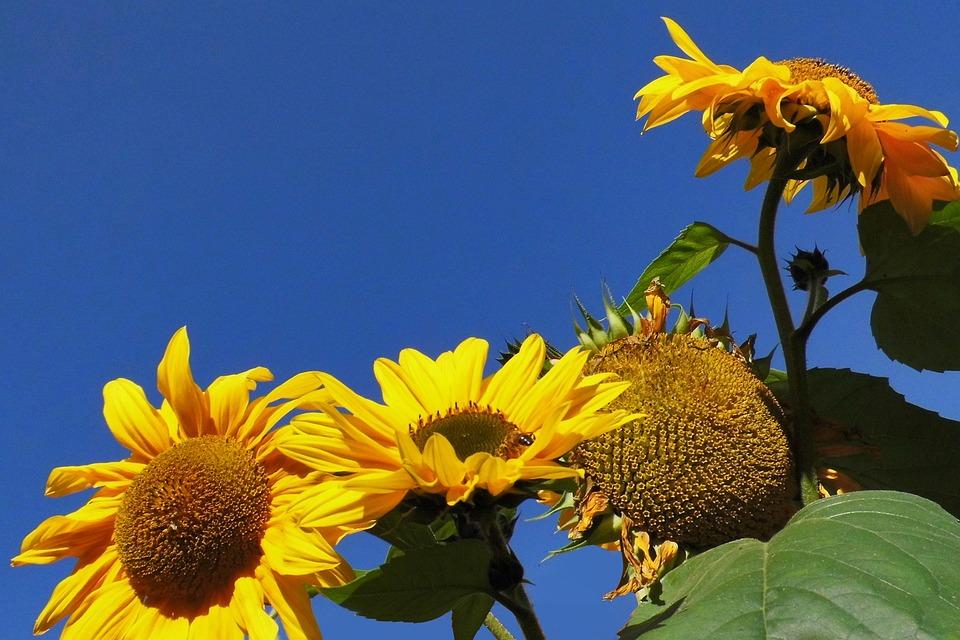 Sunflower, Yellow, Close Up, Nice Weather, Sky Blue