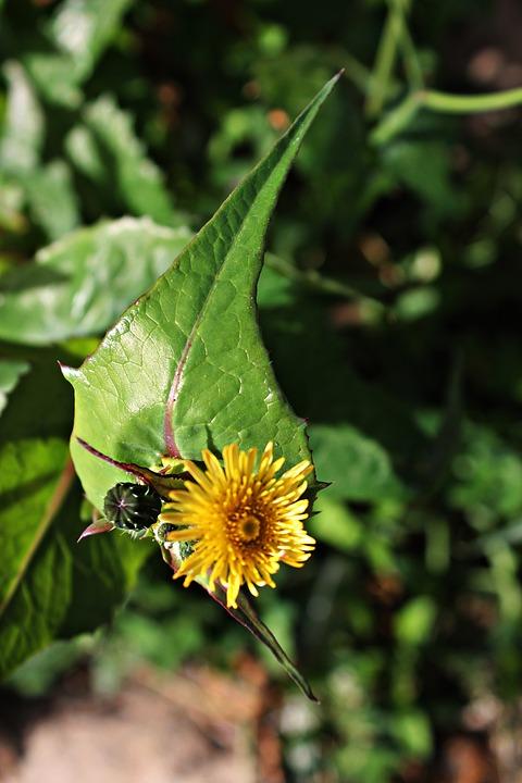 Asteriscus Maritimus, Small Flower, Yellow