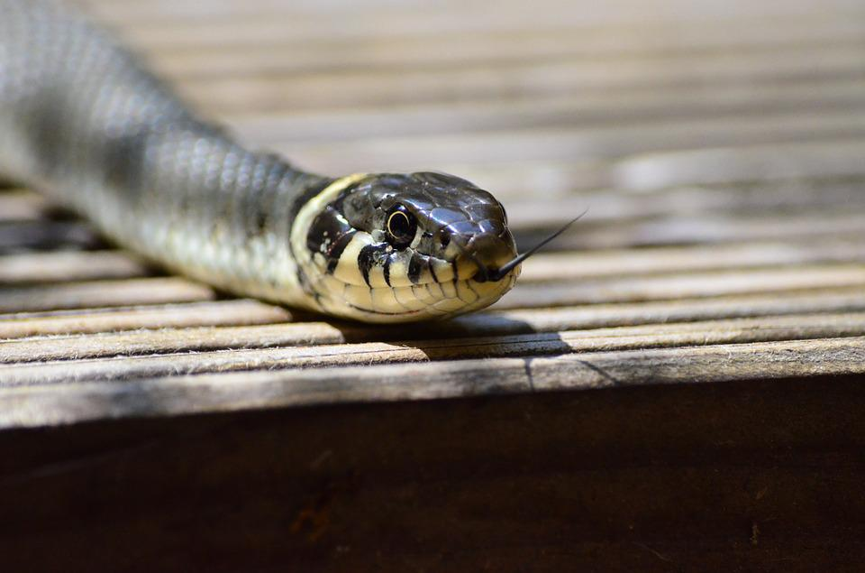 Grass Snake, Snake, Snakehead, Yellow