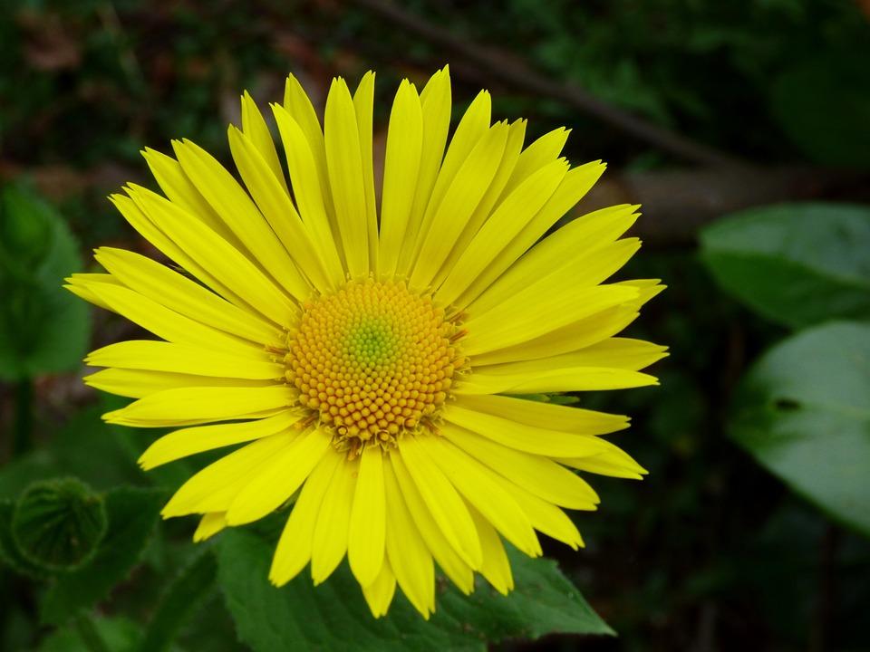 Spanish Yellow Daisy, Flower, Yellow
