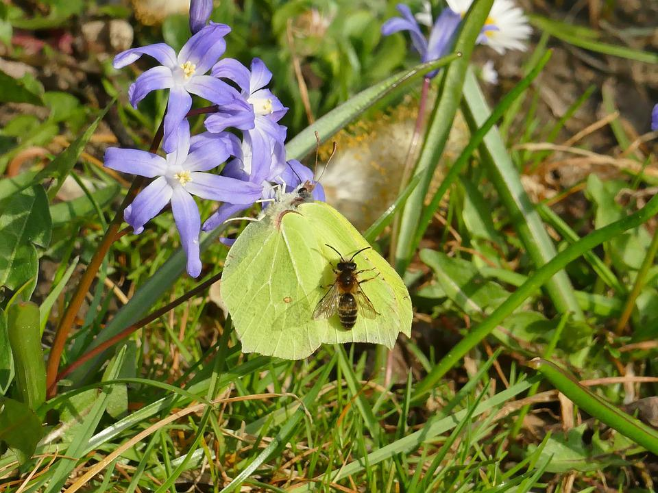 Spring, Butterfly, Gonepteryx Rhamni, Animal, Yellow