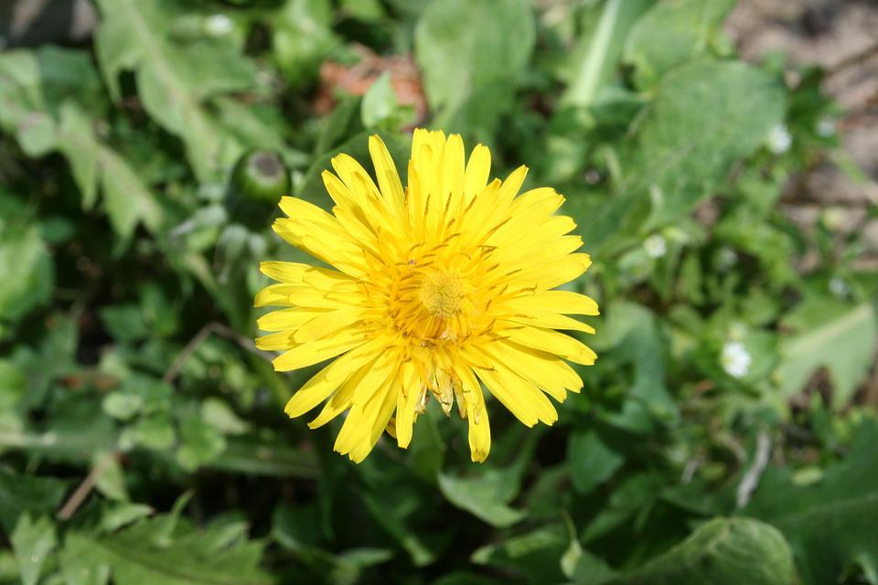 Dandelion, Flower, Spring, Yellow
