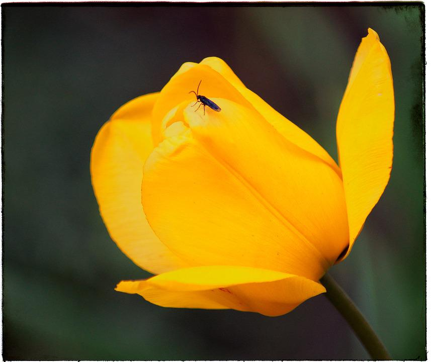 Free photo yellow spring flower flower tulip flowers nature max pixel tulip yellow flower flowers spring flower nature mightylinksfo