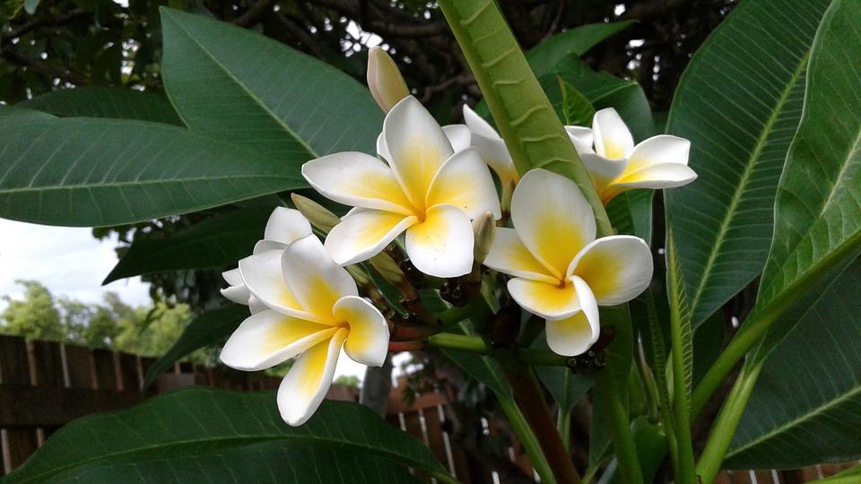 Flower, White, Yellow, Magnolia, Spring