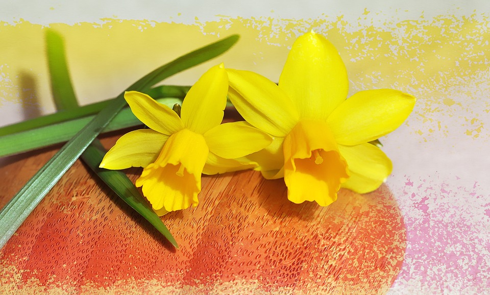 Daffodils, Spring Flowers, Early Bloomer, Yellow