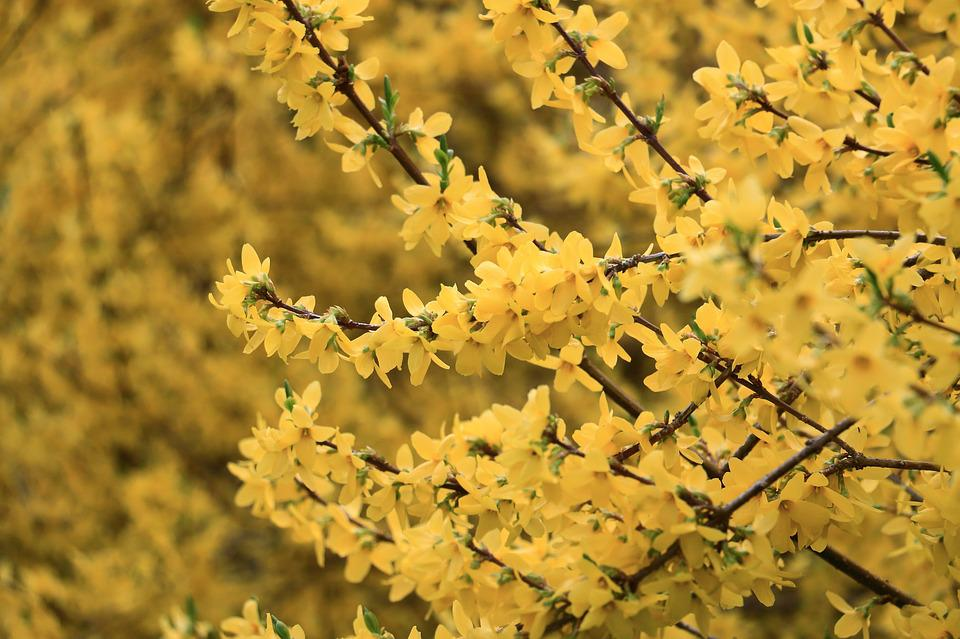 Yellow, Forsythia Shrub, Spring, Bush