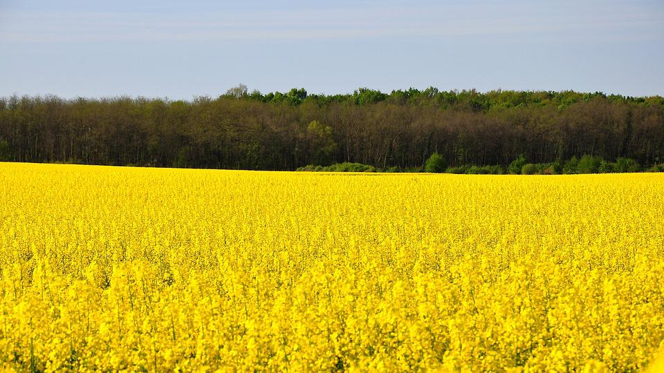 Rape, Spring, Canola Field, Yellow, Nature