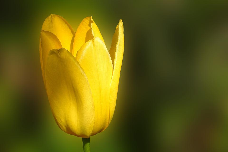 Tulip, Nature, Flower, Plant, Bright, Yellow, Spring