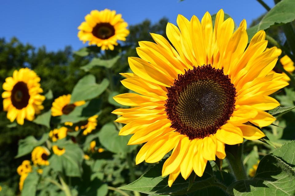 Sunflower, Sunflower Field, Yellow, Summer, Blossom