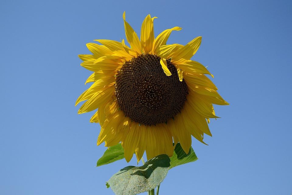 Sunflower, Plant, Summer, Yellow