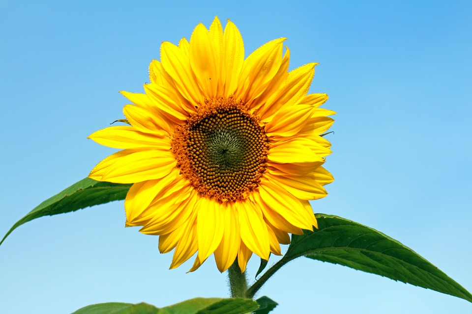 Sun Flower, Flower, Yellow, Plant, Blossom, Bloom