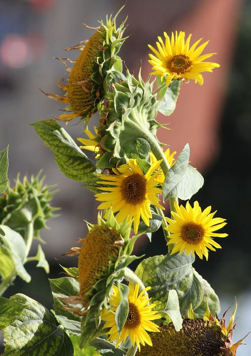 Sunflower, Flower, Yellow