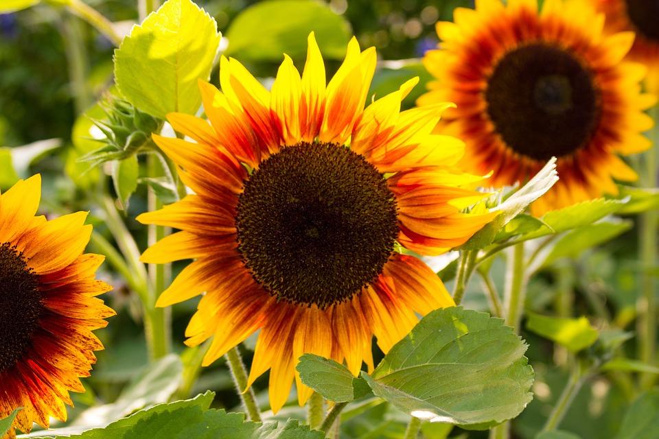Sunflower, Yellow, Flower, Blossom, Bloom, Flora