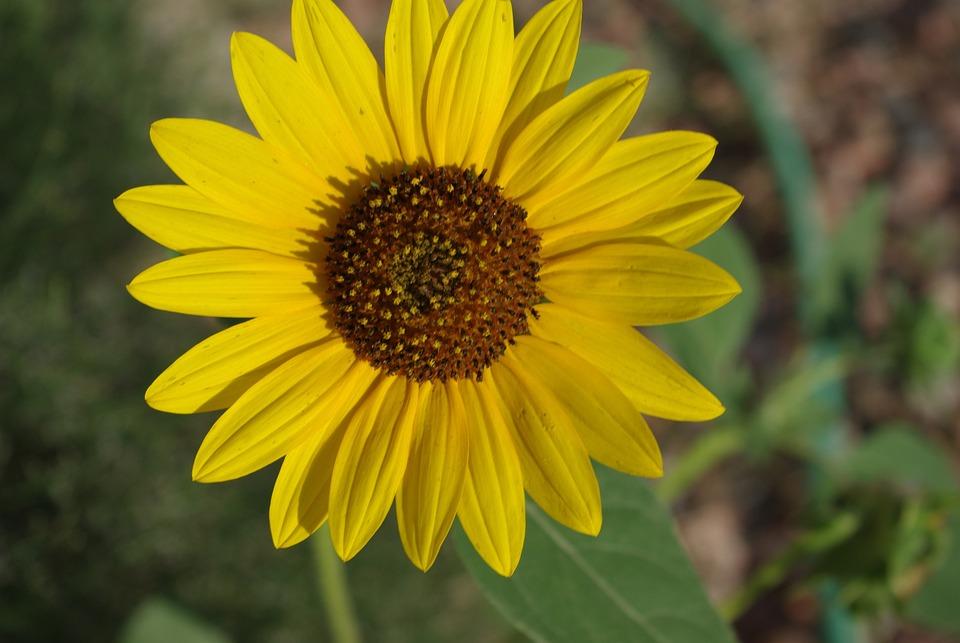 Sunflower, Yellow, Flower, Summer