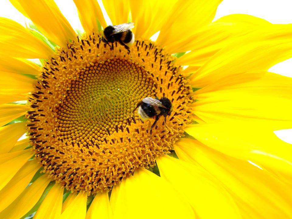 Sunflower, Yellow, Insect, Pollination, Garden, Sun