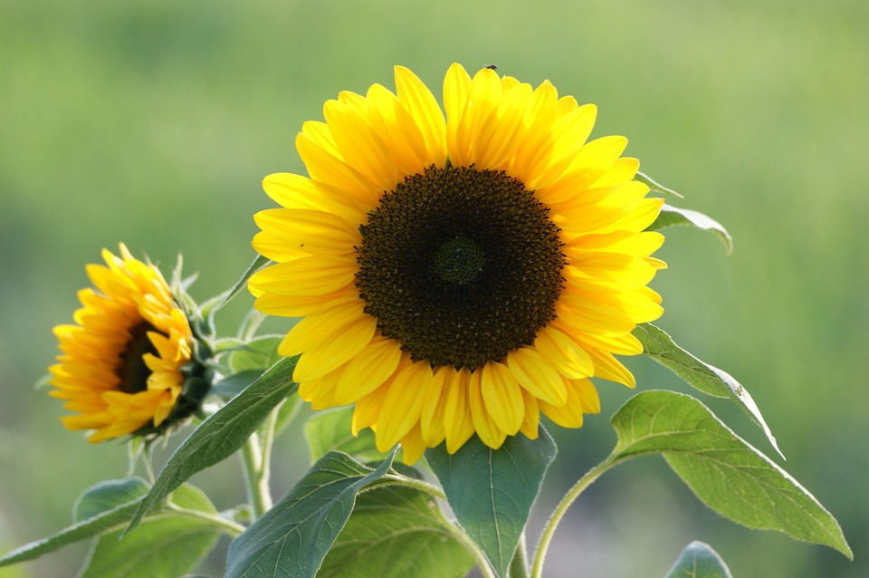 Sun Flower, Yellow, Blossom, Bloom, Sunflower Seeds