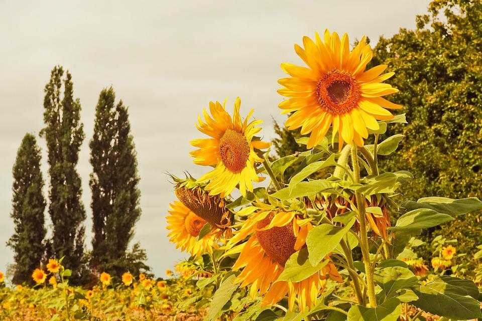 Sunflower, Flowers, Yellow, Nature, Summer, Blossom