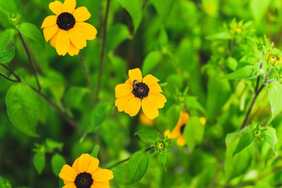 Yellow Flower, Yellow Sunhat, Sunhat Flower, Flower
