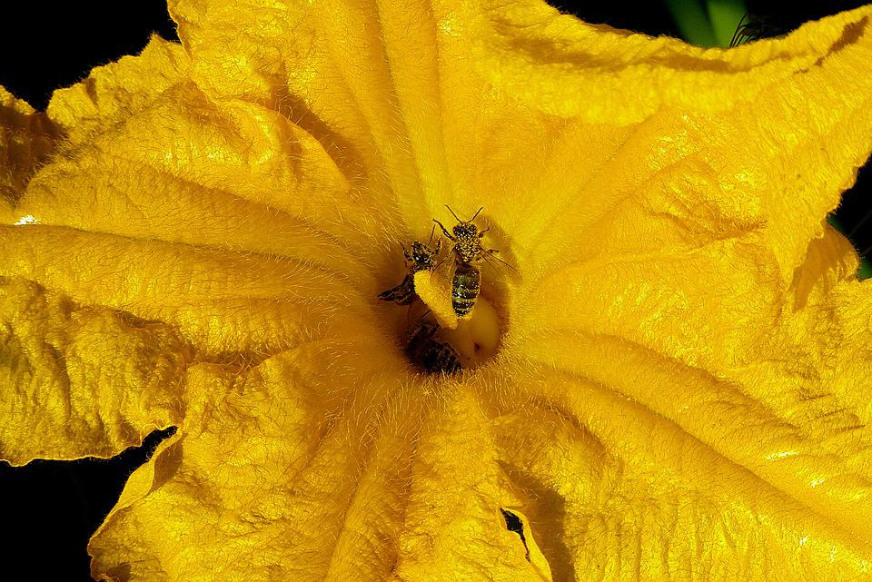 The Courgette Flower, Yellow, Bees, Flying, Pollination