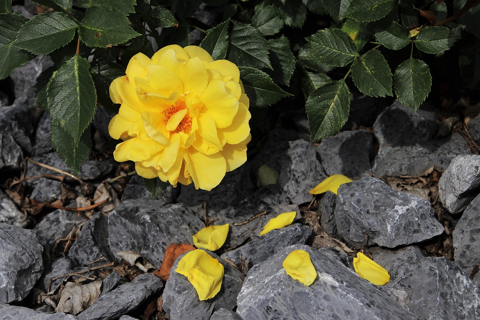 Rose, Yellow, Blossoming, The Delicacy, Rose Petals