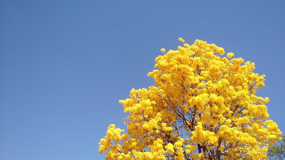 Tree, Ipê, Spring, Yellow, Sky