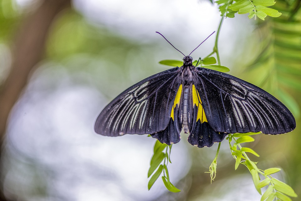 Butterfly, Insect, Wing, Tropical, Black, Yellow