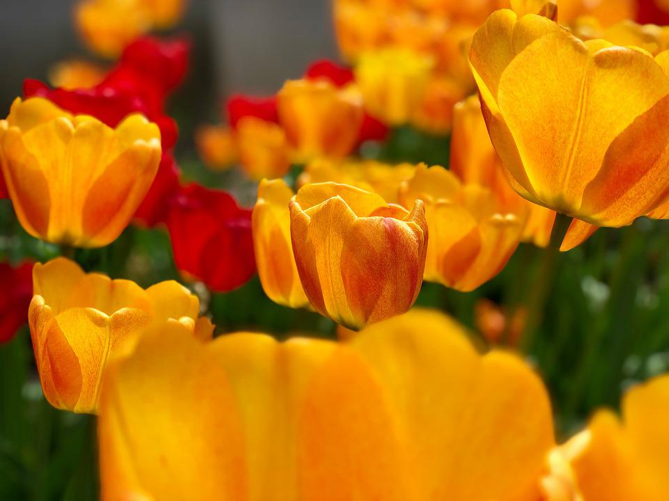 Tulips, Yellow Tulips, Flowers, Yellow Flowers, Petals