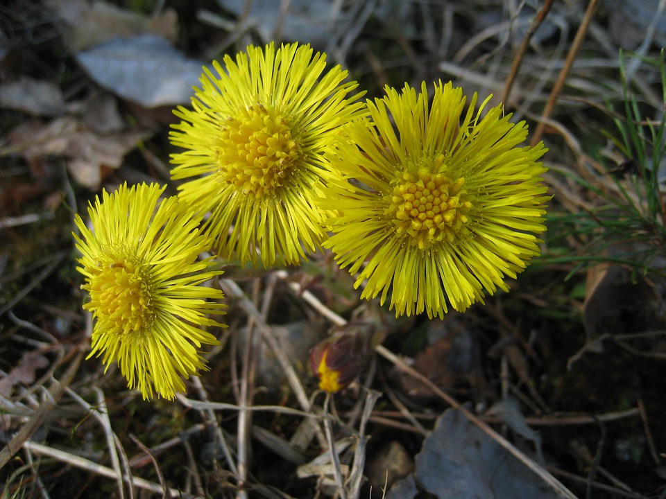 Tussilago, Yellow, Flowers, Spring, Grass