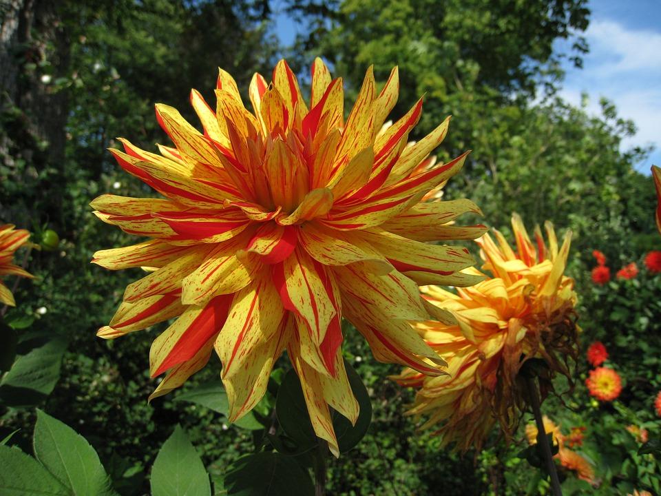 Dahlia, Two Tone, Summer, Yellow, Orange, Foliage