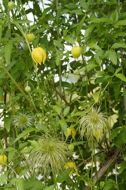 Clematis, Yellow Waldrebe, Yellow, Climber, Plant