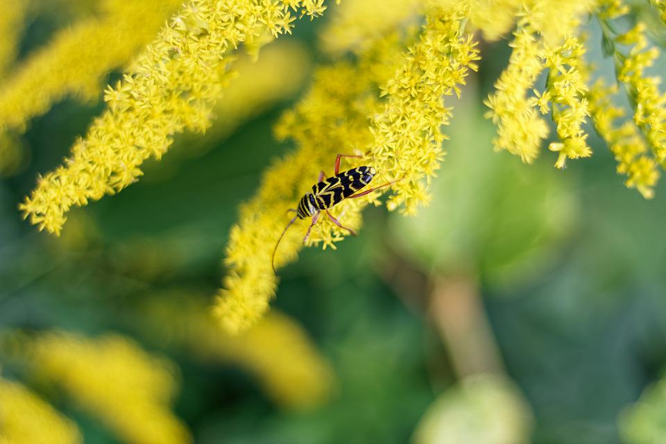 Goldenrod, Insect, Yellow, Weed