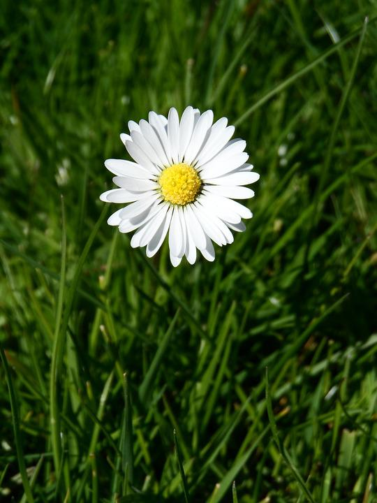 free photo yellow white daisy pointed flower tausendschön  max pixel, Beautiful flower