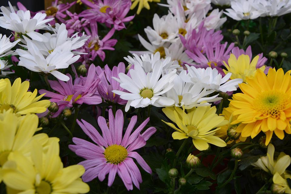 Free photo yellow white purple colors mums flowers max pixel mums flowers colors yellow white purple mightylinksfo