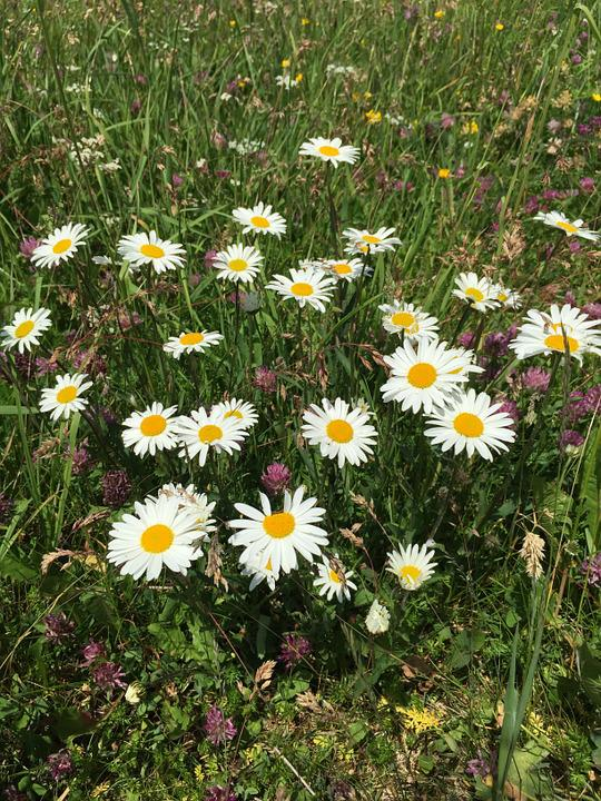 Daisies, Flowers, White, Yellow, Wild Flowers