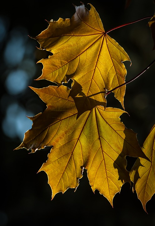 Maple, Foliage, Wood, Plant, Yellow, Nature, Seasons