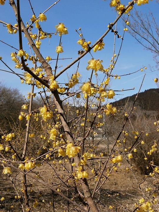 Plum, Robin, Flowers, Wood, Yellow