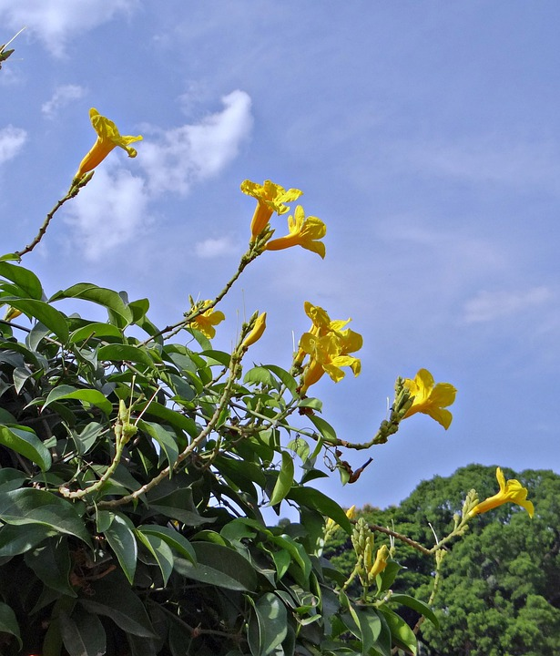 Yellow Trumpet Vine, Flower, Yellow