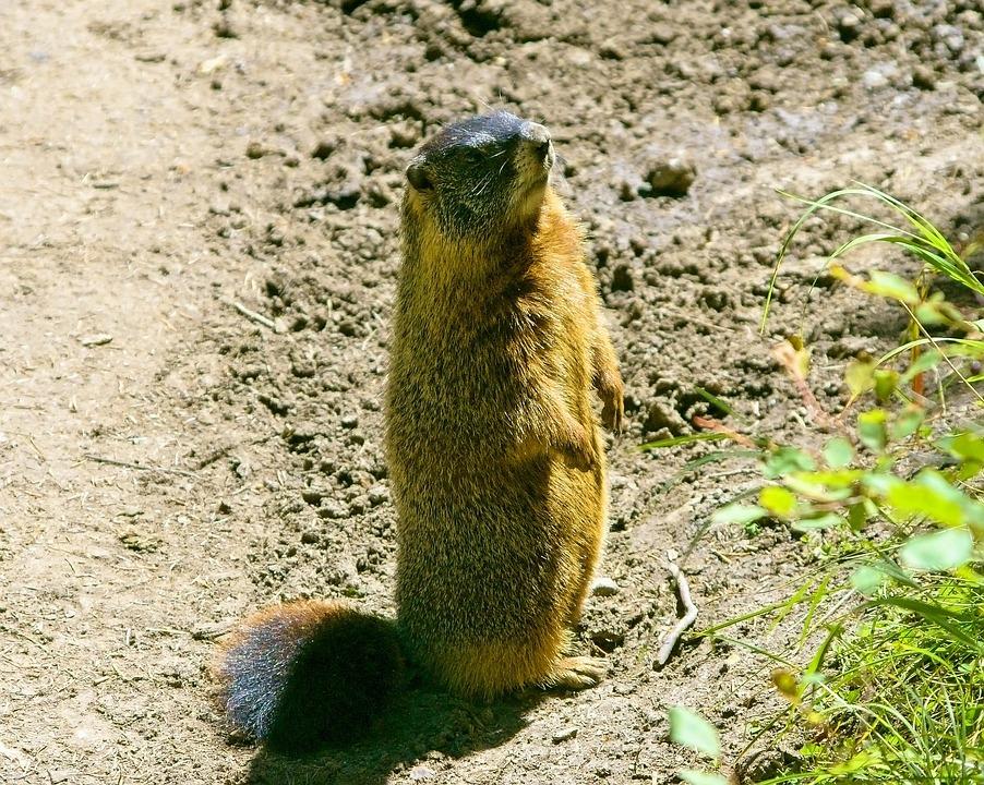 Grand Teton Rock Chuck, Yellow-bellied Marmot, Animal