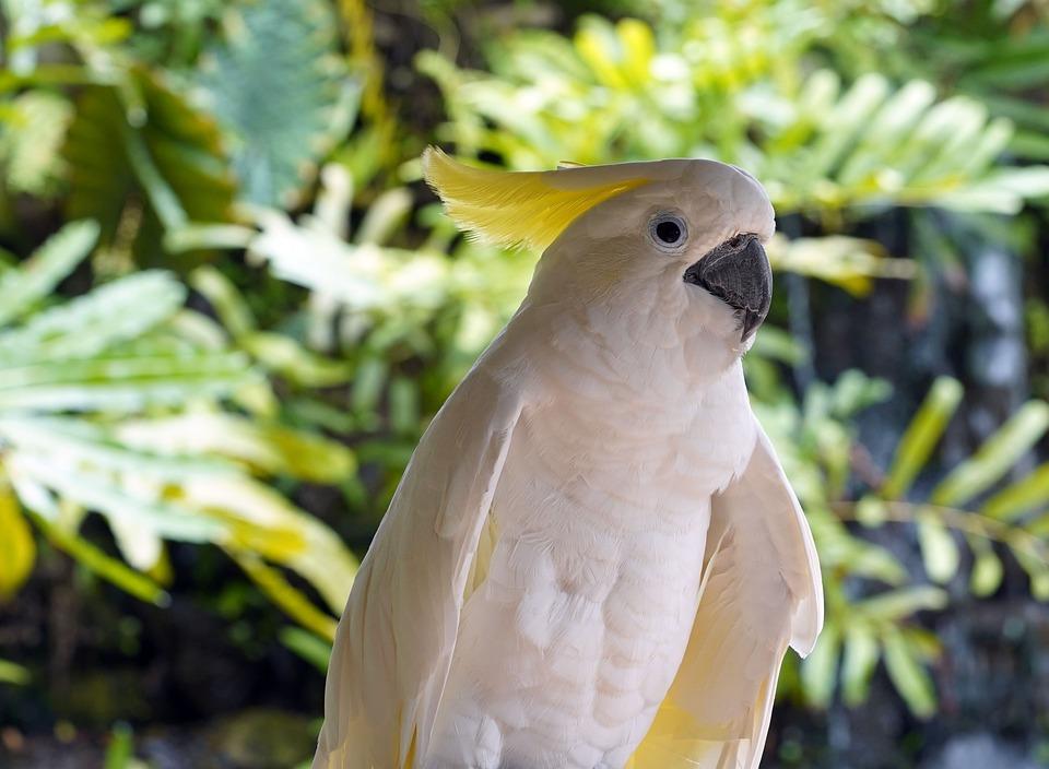 Cockatoo, Yellow-crested Cockatoo, Bird, Wildlife