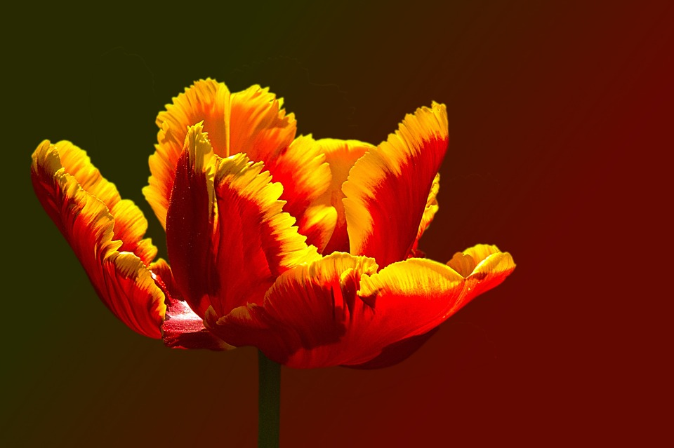 Tulip, Parrot Tulip, Red Yellow, Yellow-rand, Blossom