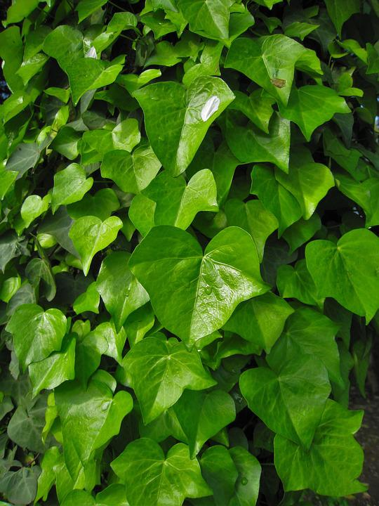 Ivy, The Vine, Green, Leaf, Otsu Park, Yokosuka