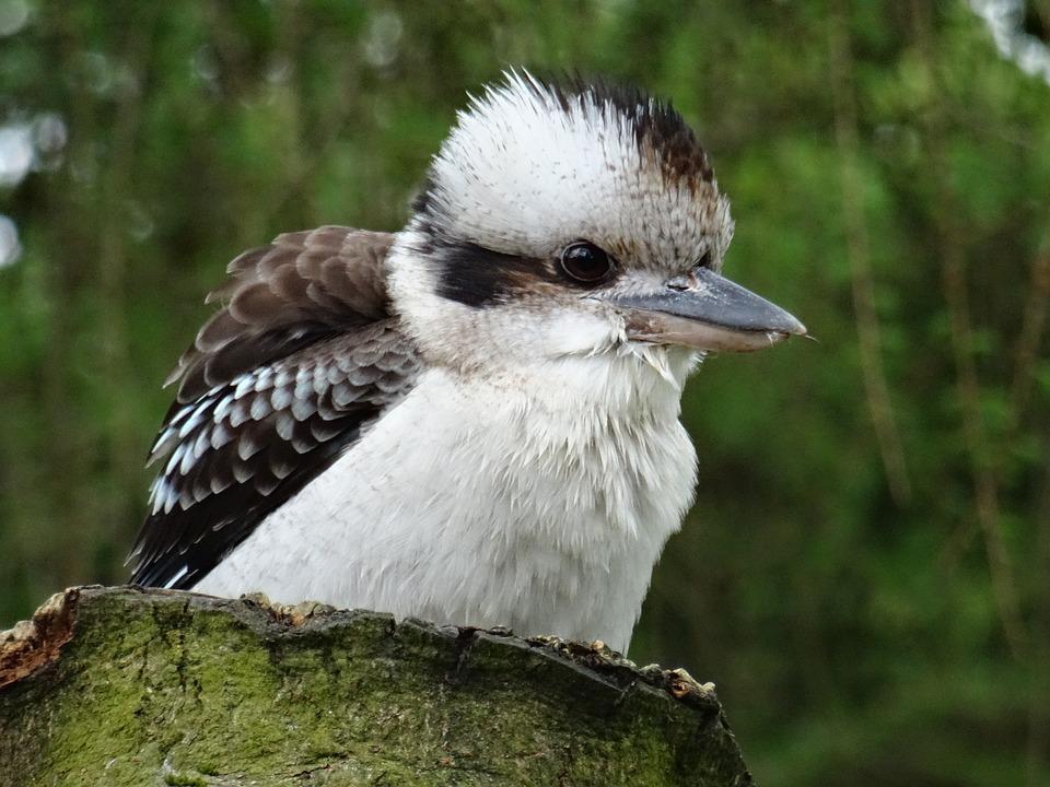 Kookaburra, York Bird Of Prey, Doesn't Like Snakes